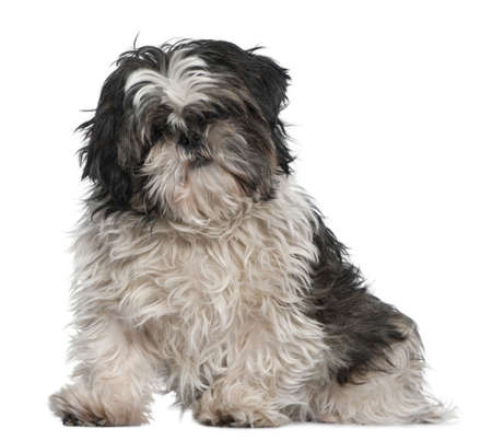 shih: Shih Tzu, 3 years old, sitting in front of white background