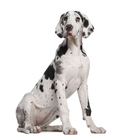 Great Dane puppy, 6 months old, sitting in front of white background photo