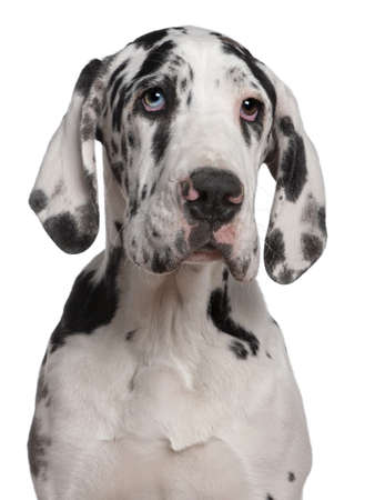 Great Dane puppy, 6 months old, in front of white background photo