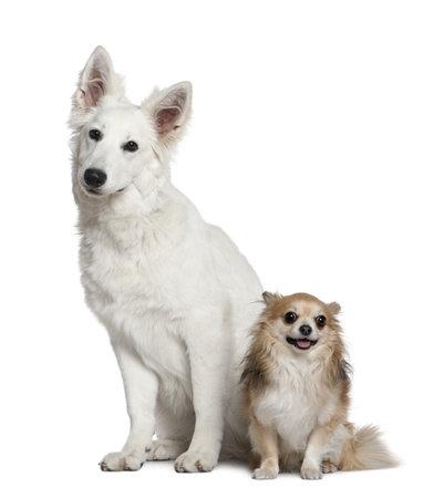 white shepherd dog: Cane pastore svizzero e Chihuahua, 6 mesi di et� e di 4 anni, seduto davanti a sfondo bianco