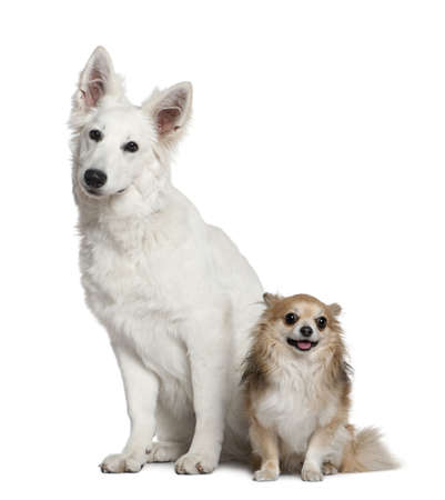 Swiss shepherd dog and Chihuahua, 6 months old and  4 years old, sitting in front of white background Stock Photo - 7121052