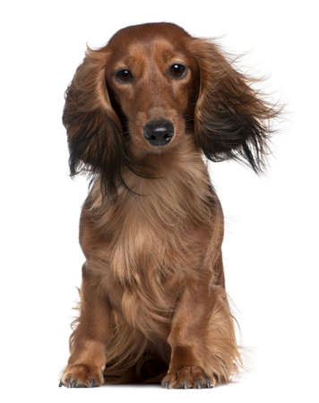 2 years old: Dachshund with his hair in the wind, 2 years old, sitting in front of white background