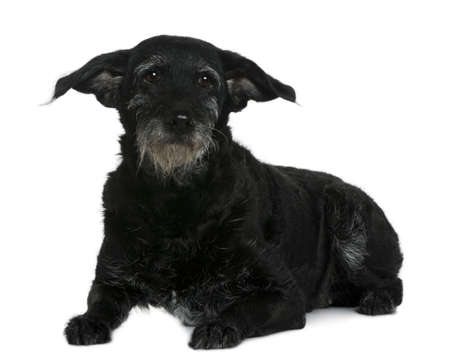 11 years: Old mixed-breed dog, 11 years old, in front of white background