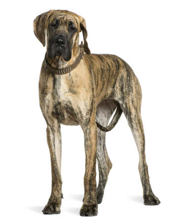 Great Dane, 10 months old, standing in front of white background Stock Photo - 7120533