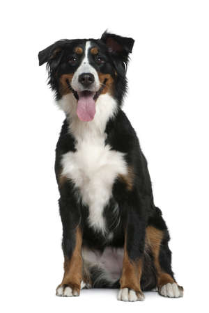 Bernese mountain dog, 18 months old, sitting in front of white background photo