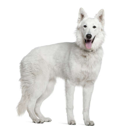 berger: Berger blanc suisse, 1 year old, standing in front of white background