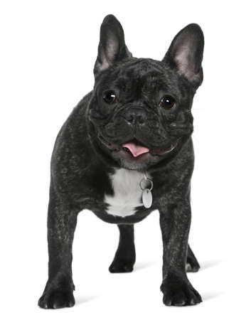 French bulldog, 5 months old, standing in front of white background photo