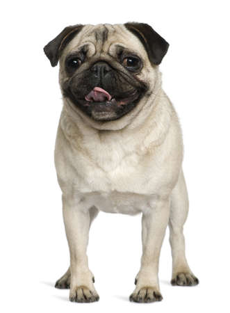 2 years old: Pug, 2 Years old, standing in front of white background