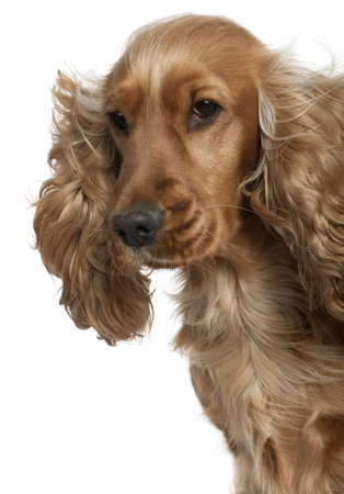 English Cocker spaniel with hair blowing in the wind, 18 months old, in front of white background photo