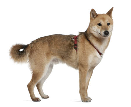 2 years old: Shiba inu, 2 years old, standing in front of white background