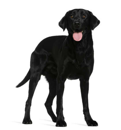 labrador retriever: Labrador retriever, 3 a�os de edad, de pie delante de fondo blanco