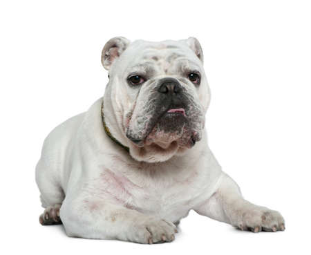 English bulldog, 10 months old, lying in front of white background photo