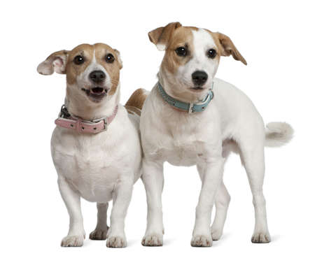 Two Jack Russell terriers, 5 years old and  6 months old, standing in front of white background photo
