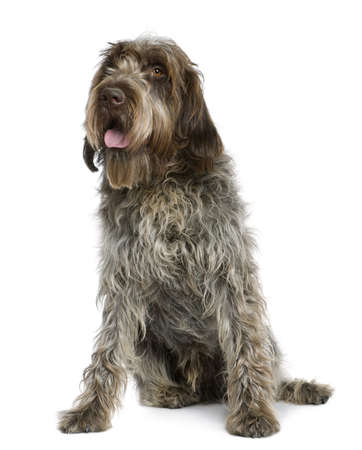 griffon: Wirehaired Pointing Griffon, 11 months old, sitting in front of white background Stock Photo