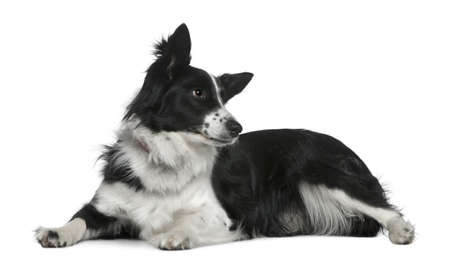 Border collie, 3 years old, lying in front of white background photo