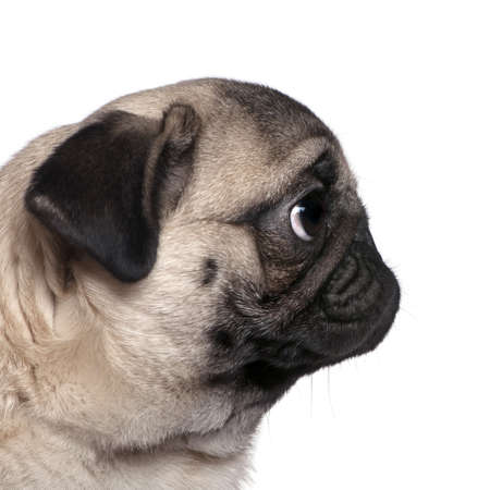 Profile view of a Pug, 7 months old, in front of white background photo