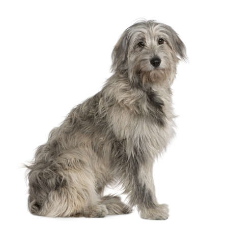 Pyrenean Shepherd dog, 7 months old, sitting in front of white background Stock Photo - 7121484