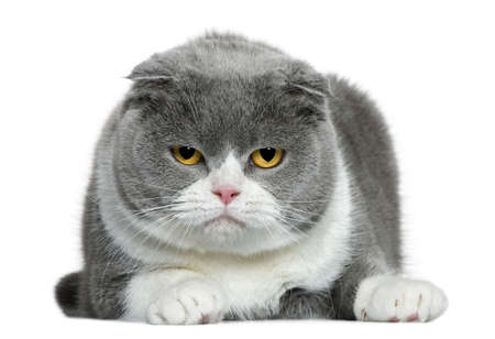 Scottish fold cat, 5 years old, lying in front of white background Stock Photo - 7121449