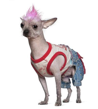 Perro de punk hairless vestida de México, 4 años de edad, de pie delante de fondo blanco  Foto de archivo