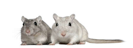 2 years old: Two Gerbils, 2 years old, in front of white background Stock Photo