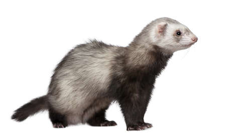4 years old: Ferret, 4 years old, in front of white background