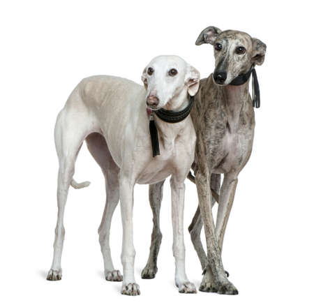 Two Galgo espanol dogs, 8 and 7 years old, standing in front of white background photo