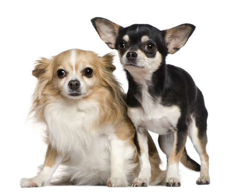 2 years old: Two Chihuahuas, 6 and 2 years old, in front of white background