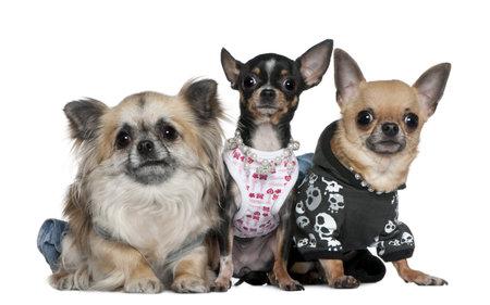 2 to 3 years: Vestita gruppo di Chihuahua, 2 e 3 anni, davanti a sfondo bianco