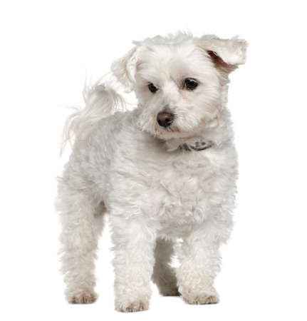 Maltese, 8 years old, standing in front of white background photo