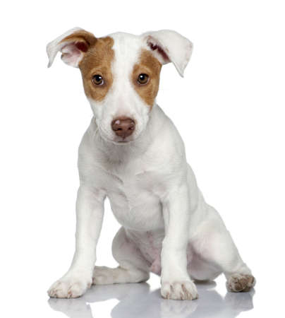 Jack Russell terrier puppy, 4 months old, sitting in front of white background photo