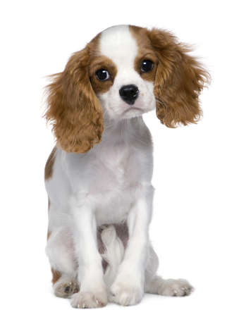 Cavalier King Charles Spaniel, 5 months old, sitting in front of white background photo