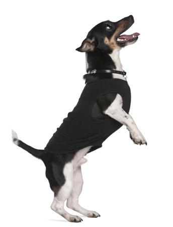 perros vestidos: Jack Russell terrier permanente sobre patas traseras looking up, 2 a�os y medio viejo, en frente de fondo blanco