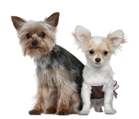 Chihuahua puppy and Yorkshire terrier, 4 months and 1 year old, sitting in front of white background photo