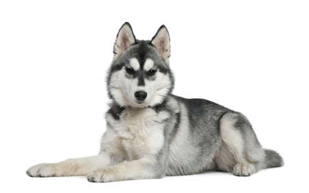 lying in front: Siberian husky, 6 months old, lying in front of white background