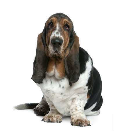 2 years old: Basset hound, 2 years old, sitting in front of white background