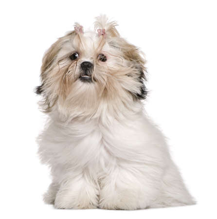 Shih Tzu, 8 months old, sitting in front of white background photo
