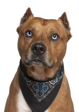 american staffordshire terrier: American Staffordshire terrier wearing handkerchief, 2 years old, in front of white background