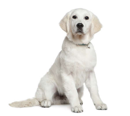 Golden Retriever puppy, 5 months old, sitting in front of white background Stock Photo - 7120759