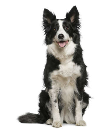 10 years old: Border Collie, 10 years old, sitting in front of white background