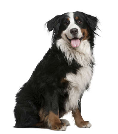 bernese: Bernese mountain dog, 3 years old, sitting in front of white background Stock Photo