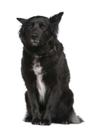Belgian shepherd dog, Groenendael, 4 years old, sitting in front of white background photo