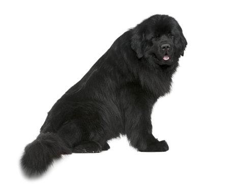 cane terranova: Newfoundland cane, 4 anni e mezzo vecchio, seduto davanti a sfondo bianco  Archivio Fotografico