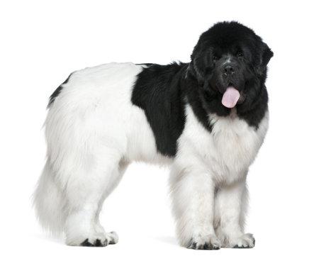 cane terranova: Cane Newfoundland, 16 mesi di et�, in piedi davanti a sfondo bianco