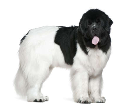 Newfoundland: Newfoundland dog, 16 months old, standing in front of white background
