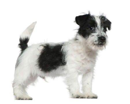 jack russell terrier: Jack Russell terrier puppy, 4 months old, standing in front of white background Stock Photo