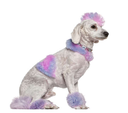 Groomed poodle with pink and purple fur and mohawk, 1 year old, sitting in front of white background photo