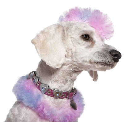 Groomed poodle with pink and purple fur and mohawk, 1 year old, in front of white background photo