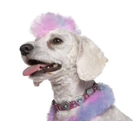 1 year old: Groomed poodle with pink and purple fur and mohawk, 1 year old, in front of white background Stock Photo