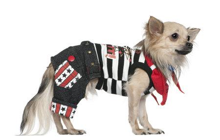 perros vestidos: Chihuahua vestido, 1 a�o de edad, de pie delante de fondo blanco