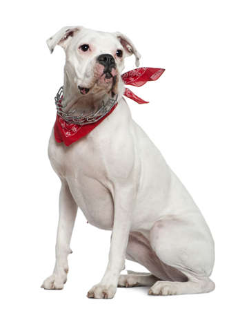 red bandana: Boxer wearing handkerchief, 2 years old, sitting in front of white background